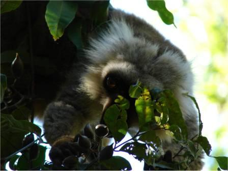 Lemur eating fruit