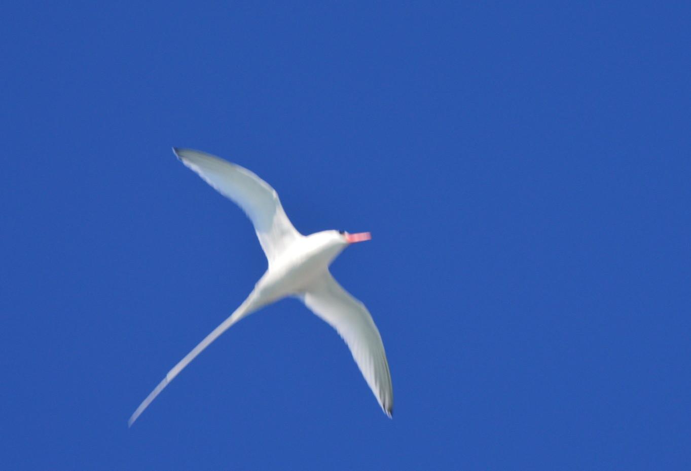 Tropicbird_0179web