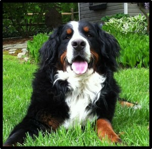 Klaus, the Bernese Mountain Dog, returns for a second visit from 3:00-4:00pm.